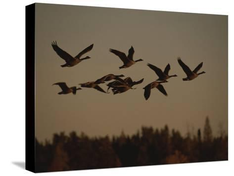 Canada Geese Fly in a Group Through a Goose Sanctuary-Raymond Gehman-Stretched Canvas Print