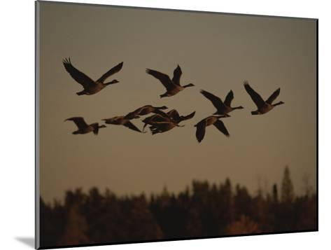 Canada Geese Fly in a Group Through a Goose Sanctuary-Raymond Gehman-Mounted Photographic Print