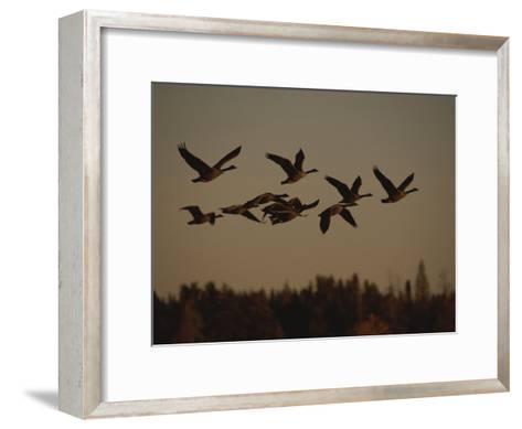 Canada Geese Fly in a Group Through a Goose Sanctuary-Raymond Gehman-Framed Art Print
