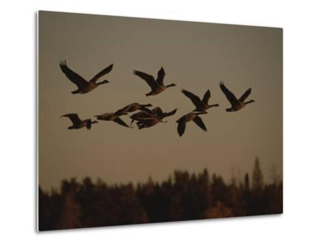 Canada Geese Fly in a Group Through a Goose Sanctuary-Raymond Gehman-Metal Print