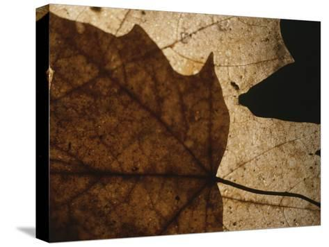 A Close View of a Maple Leaf in Fall Colors-Roy Gumpel-Stretched Canvas Print