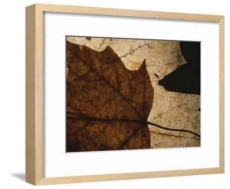 A Close View of a Maple Leaf in Fall Colors-Roy Gumpel-Framed Art Print