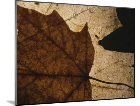 A Close View of a Maple Leaf in Fall Colors-Roy Gumpel-Mounted Photographic Print