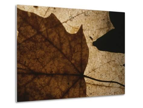 A Close View of a Maple Leaf in Fall Colors-Roy Gumpel-Metal Print