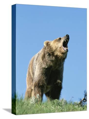 Grizzly Bear Vocalizing-Norbert Rosing-Stretched Canvas Print