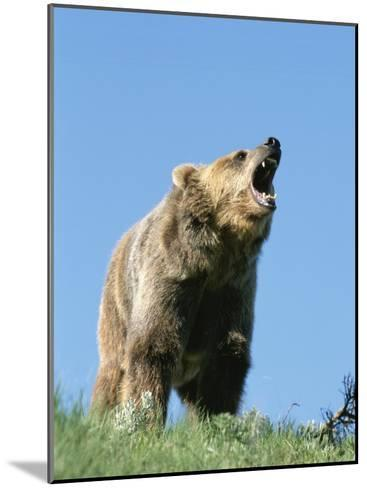 Grizzly Bear Vocalizing-Norbert Rosing-Mounted Photographic Print