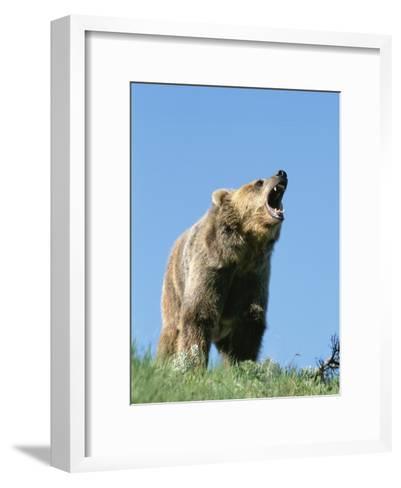 Grizzly Bear Vocalizing-Norbert Rosing-Framed Art Print