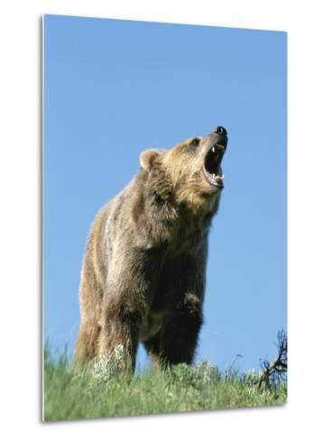 Grizzly Bear Vocalizing-Norbert Rosing-Metal Print