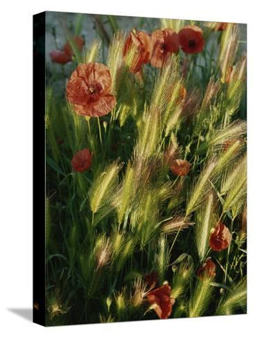 Wildflowers and Grass Tufts in Provence-Nicole Duplaix-Stretched Canvas Print