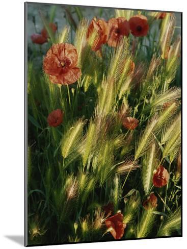 Wildflowers and Grass Tufts in Provence-Nicole Duplaix-Mounted Photographic Print