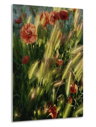 Wildflowers and Grass Tufts in Provence-Nicole Duplaix-Metal Print