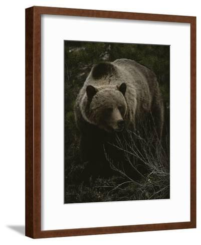 Close Frontal View of a Huge Grizzly (Ursus Arctos Horribilis) in a Pine Wood-Michael S^ Quinton-Framed Art Print