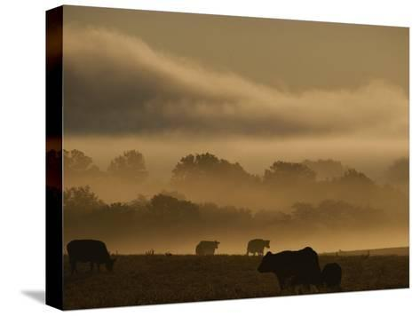Cows are Silhouetted in a Field against Fog-Covered Trees at Dawn-Sam Kittner-Stretched Canvas Print