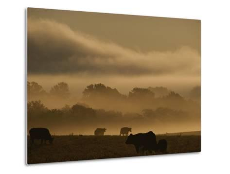 Cows are Silhouetted in a Field against Fog-Covered Trees at Dawn-Sam Kittner-Metal Print
