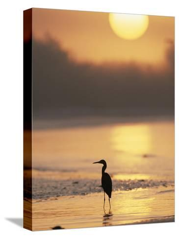 A Little Blue Heron Silhouetted on a Florida Beach at Sunrise-Roy Toft-Stretched Canvas Print