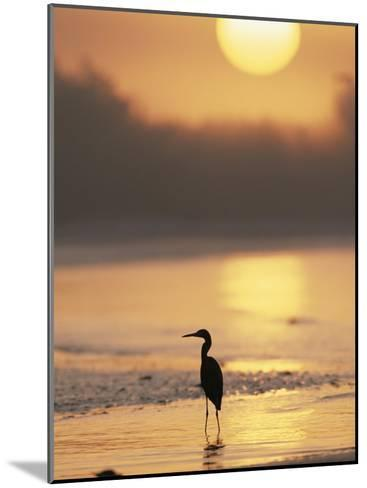 A Little Blue Heron Silhouetted on a Florida Beach at Sunrise-Roy Toft-Mounted Photographic Print