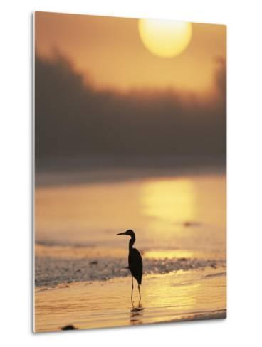 A Little Blue Heron Silhouetted on a Florida Beach at Sunrise-Roy Toft-Metal Print