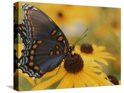 Close-up of a Red-Spotted Purple Butterfly on a Black-Eyed Susan-Brian Gordon Green-Stretched Canvas Print