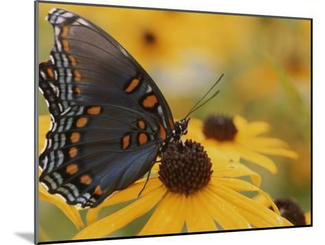 Close-up of a Red-Spotted Purple Butterfly on a Black-Eyed Susan-Brian Gordon Green-Mounted Photographic Print