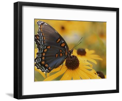 Close-up of a Red-Spotted Purple Butterfly on a Black-Eyed Susan-Brian Gordon Green-Framed Art Print