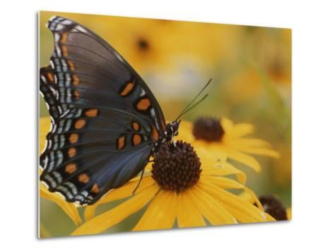 Close-up of a Red-Spotted Purple Butterfly on a Black-Eyed Susan-Brian Gordon Green-Metal Print