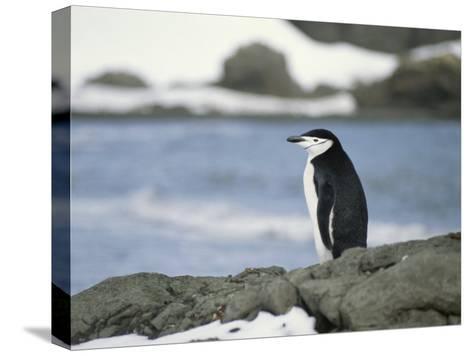 Chinstrap Penguin-Gordon Wiltsie-Stretched Canvas Print