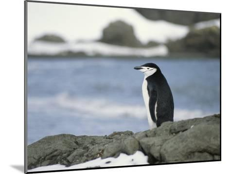 Chinstrap Penguin-Gordon Wiltsie-Mounted Photographic Print