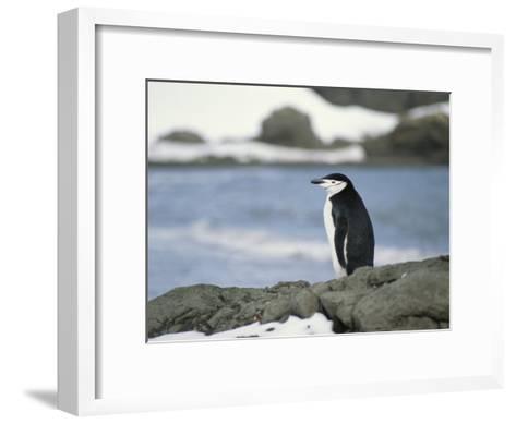 Chinstrap Penguin-Gordon Wiltsie-Framed Art Print