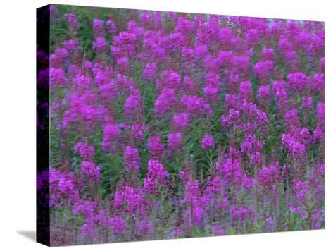 Blooming Fireweed-Michael Melford-Stretched Canvas Print