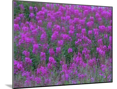 Blooming Fireweed-Michael Melford-Mounted Photographic Print