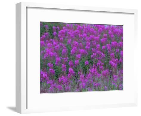 Blooming Fireweed-Michael Melford-Framed Art Print