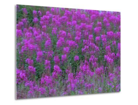 Blooming Fireweed-Michael Melford-Metal Print