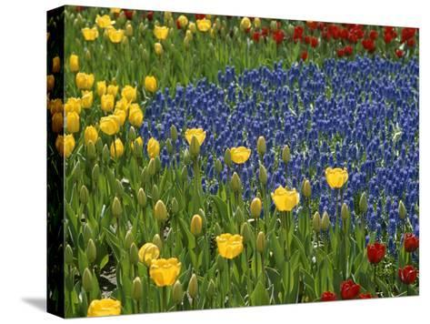 A Garden of Colorful Tulips and Grape Hyacinths in New York City-Raul Touzon-Stretched Canvas Print