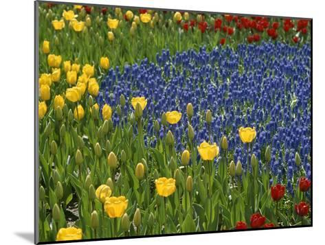 A Garden of Colorful Tulips and Grape Hyacinths in New York City-Raul Touzon-Mounted Photographic Print