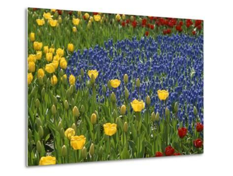A Garden of Colorful Tulips and Grape Hyacinths in New York City-Raul Touzon-Metal Print
