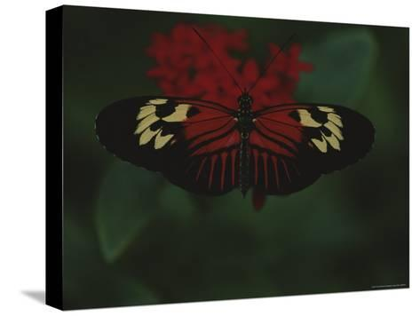 A Close View of a Red and White Butterfly on a Red Flower-Raul Touzon-Stretched Canvas Print