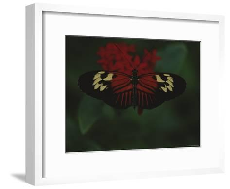 A Close View of a Red and White Butterfly on a Red Flower-Raul Touzon-Framed Art Print