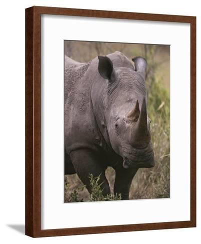 A Close View of a White Rhinoceros, Ceratotherium Simum-Tim Laman-Framed Art Print