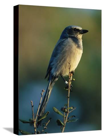 Florida Scrub Jay (Aphelocama Coerulescens Coerulescens), Banded for Identification-Joel Sartore-Stretched Canvas Print