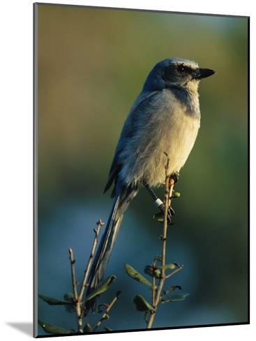 Florida Scrub Jay (Aphelocama Coerulescens Coerulescens), Banded for Identification-Joel Sartore-Mounted Photographic Print