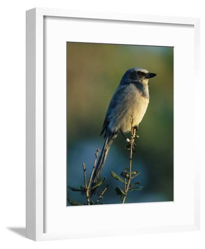 Florida Scrub Jay (Aphelocama Coerulescens Coerulescens), Banded for Identification-Joel Sartore-Framed Art Print