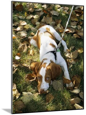 Portrait of a Brittany Spaniel Puppy Lying Among Fallen Autumn Leaves-Paul Damien-Mounted Photographic Print
