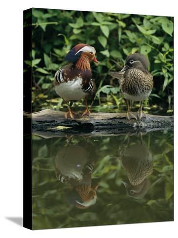 Male and Female Mandarin Ducks on a Log-Tim Laman-Stretched Canvas Print
