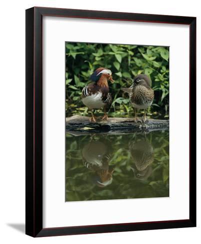 Male and Female Mandarin Ducks on a Log-Tim Laman-Framed Art Print