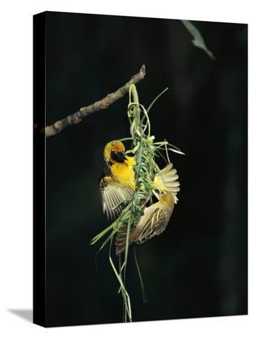 A Pair of Weaverbirds Work Together on Their Nest-Tim Laman-Stretched Canvas Print
