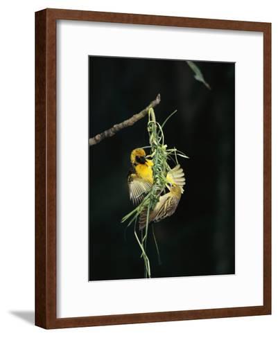 A Pair of Weaverbirds Work Together on Their Nest-Tim Laman-Framed Art Print