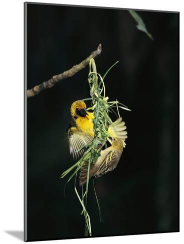 A Pair of Weaverbirds Work Together on Their Nest-Tim Laman-Mounted Photographic Print
