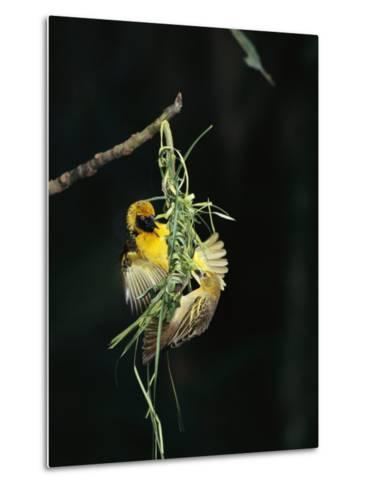 A Pair of Weaverbirds Work Together on Their Nest-Tim Laman-Metal Print