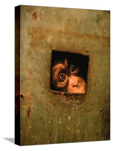 A Young Chimpanzee Held Captive in a Private Zoo in Monrovia-Michael Nichols-Stretched Canvas Print