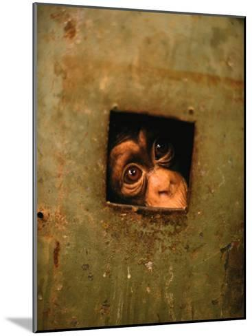 A Young Chimpanzee Held Captive in a Private Zoo in Monrovia-Michael Nichols-Mounted Photographic Print